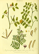 Mimosa from Vol II of the book The universal herbal : or botanical, medical and agricultural dictionary : containing an account of all known plants in the world, arranged according to the Linnean system. Specifying the uses to which they are or may be applied By Thomas Green,  Published in 1816 by Nuttall, Fisher & Co. in Liverpool and Printed at the Caxton Press by H. Fisher