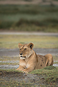 Nature photograph of an adult lioness (Panthera leo) lying on the ground, Ngorongoro Conservation Area, Tanzania