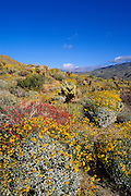 Morning light on Brittlebush, Chuparosa, and Cholla in Plum Canyon, Anza-Borrego Desert State Park, California