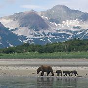 Alaska brown bear (Ursus middendorffi) mother and cubs foraging for clams on tidal flats. Katmai National Park, Alaska