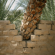 Detail of a palm tree and bricks. The Al Ain Oasis has been opened as the UAE's first curated UNESCO World Heritage site that visitor can experience. Spread over 1,200 hectares, nearly 3,000 acres, and containing more than 147,000 date palms of up to 100 different varieties, this impressive oasis is filled with palm plantations, many of which are still working farms.