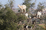 """Tree Climbing Goats of Morocco<br /> <br /> In southwest Morocco, you might actually be forgiven for asking daft questions like """"do goats grow on trees?"""". Everywhere you look, you will find dozens of goats hanging out lazily from the tree tops, munching absentmindedly like overgrown crows.<br /> <br /> Goats are skilled climbers and are known to scale steep rock faces and mountains in search of food. The ones in Morocco climb trees for the same reason – food, which is otherwise scarce in this drought-ridden region. The goats are drawn to the fruit of the Argan tree, which ripens in June each year. The Argan grows to 8-10 meters high and live up to 150–200 years. They are thorny, with gnarled trunks, but the goats, who have been climbing these trees for centuries, have learnt to adapt themselves to the task.<br /> <br /> The goats native to this region have cloven feet. Each hoof has two toes which can spread out, providing balance and leverage, while the soles of their feet are soft and yielding, helping them to grip the bark. The animals also have two vestigial toes higher up their legs, called dewclaws. These are found on many species including cats and dogs, but the goats' dewclaws are much firmer and stubbier and help the creatures pull themselves up branches, or lower themselves down sheer cliff faces.<br /> <br /> The Argan is endemic to the semi-desert Sous valley of southwestern Morocco and to the Algerian region of Tindouf in the western Mediterranean region. The fruit is also a valuable source of oil, and an important source of economy for the Berber people of Morocco. The fruit, which is about 2–4 cm long, has a very hard nut surrounded by the fleshy part that the goats eat. Inside the nut contains one or two, small, oil-rich seeds. The fruit takes over a year to mature, ripening in June to July of the following year. Until this happens, the goats are kept out of the Argan woodlands, because the animals would often eat the fruit before it's ripe, as well """