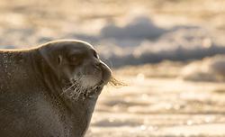 Bearded seal (Erignathus barbatus) in winter sea ice in Raudfjorden, Spitsbergen, Svalbard, Norway