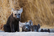 Hyena cubs (Crocuta crocuta) from two different litters watch with curiosity from the safety of their den, Khwai River, Botswana, Africa