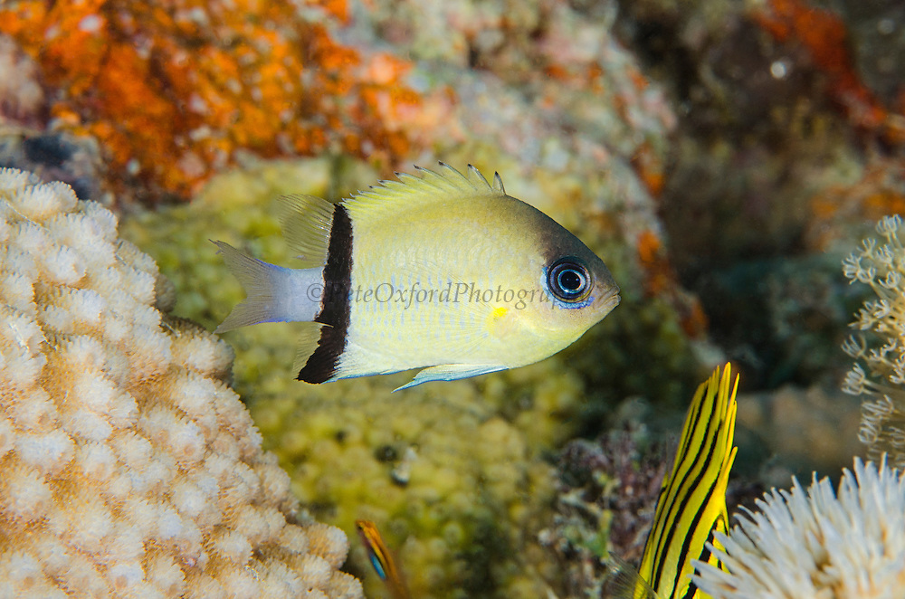 Blackbar Chromis (Chromis retrofasciata)<br /> Cenderawasih Bay<br /> West Papua<br /> Indonesia