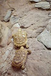 two colorful turtles walking together on rocks