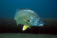 Freshwater Drum<br /> <br /> Christopher Morey/Engbretson Underwater Photo