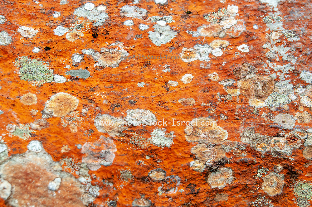 Close-up of a patch of bright orange Trentepohlia sp. alga growing on rocks. The bright orange colour is caused by the presence of large quantities of carotenoid pigments that mask the green of the chlorophyll. Photographed in Stubaital, Tyrol, Austria.