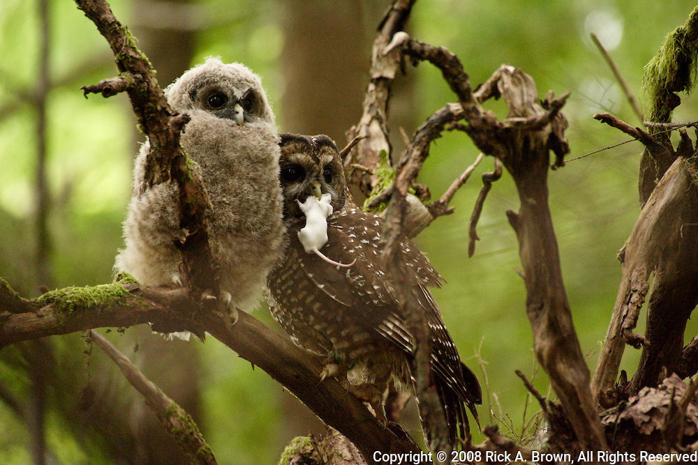 A Northern Spotted Owl (Strix occidentalis) carrying a mouse to its chick, Coastal Range, Oregon