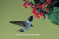 01161-001.08 Black-chinned Hummingbird (Archilochus alexandri) male on salvia flower   AZ