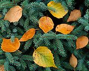 Autumn leaves of paper birch, Betula papyrifera, caught in bough of white spruce, Picea glauca, Cape Gargantua, Lake Superior Provincial Park, Ontario, Canada.
