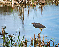 Tricolored Heron perched above a canal in Big Cypress Swamp. Image taken with a Nikon D700 camera and 28-300 mm Vr lens (ISO 900, 300 mm, f/16, 1/320 sec).