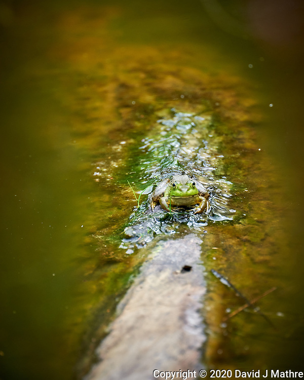 Kermit the Bullfrog on a Log. Image taken with a Leica SL2 camera and 90-280 mm lens