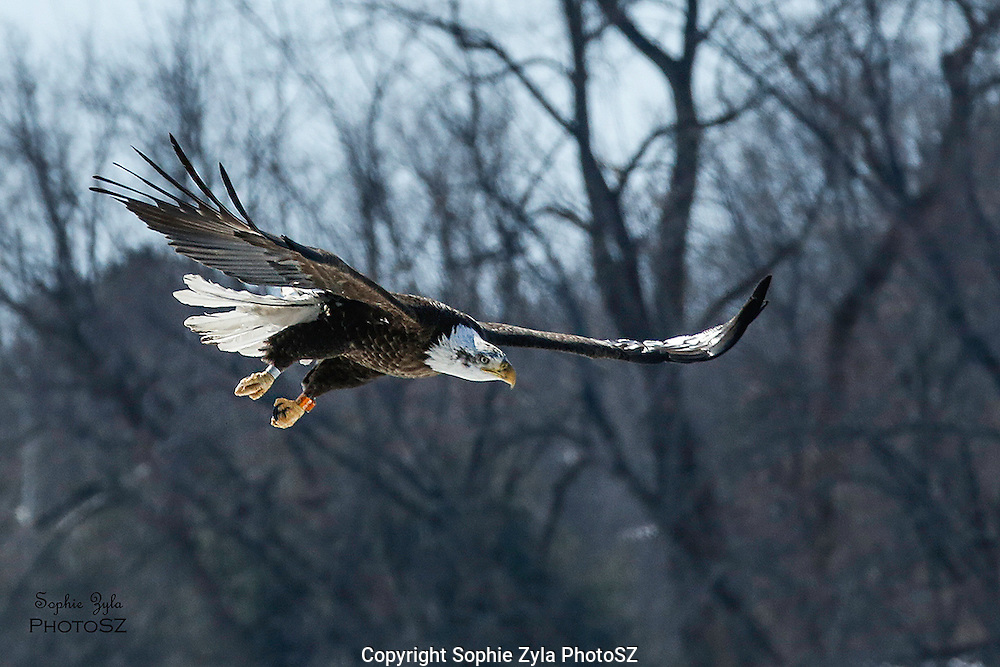 Bald Eagle coming in for landing