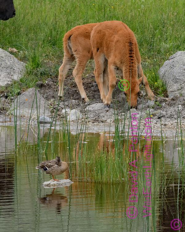 Bison calf at pond with mallard female, Yellowstone National Park, © David A. Ponton
