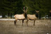 Male and female rocky mountain elk (Cervus elaphus elaphus) in NE Oregon.