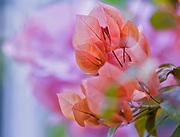 Delicate orange spring flowers against a soft bokeh background.  Taken at Botanical Gardens in the Bronx, New York.
