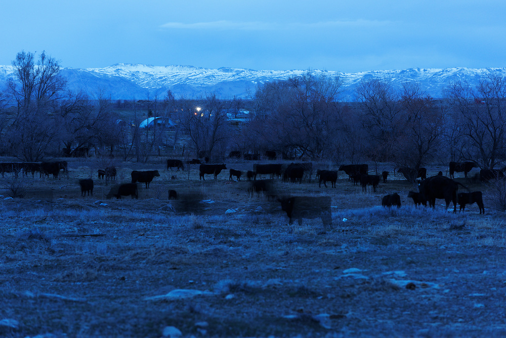 A herd of cows are seen from the side of a road in Wyoming.
