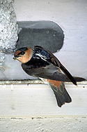 Cave Swallow - Petrochelidon fulva - adult at nest