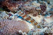 Amblyeleotris fasciata (Barred Shrimpgoby)