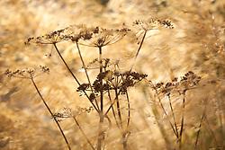 Cow parsley seedhead amongst Stipa gigantea. Anthriscus sylvestris
