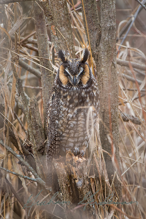 Long-eared Owl on a day roost. Long-eared Owls are incredibly hard to find, owing to extremely effective camouflage. This bird was perched near the ground mere feet away from a boardwalk trail, virtually invisible.