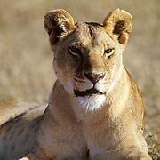 African Lion, (Panthera leo) Portrait of mature female. Serengeti Plains. Masai Mara Game Reserve.Kenya. Africa.