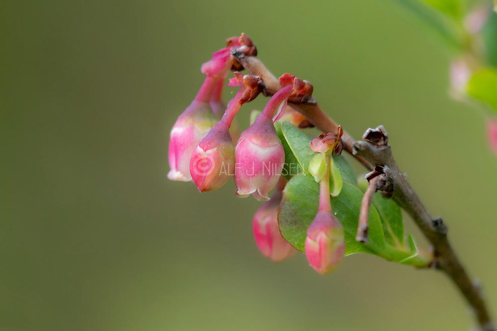 Flowers of bog bilberry (Vaccinium uliginosum) from Hidra, south-weatern Norway in May.