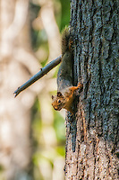 "Curious and quite playful, this Douglas's squirrel in Washington's Cascade Mountains near Lake Wenatchee spent about 10 minutes playing ""peekaboo"" with me on this tree before I headed down the trail on a sunny spring afternoon."