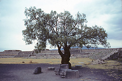Tree Among The Remains of the Ancient City of Teotihuacán
