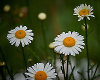 Daisy flower. Image taken with a Nikon Df camera and 70-300 mm lens