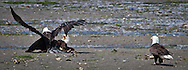 Bald Eagle (Haliaeetus leucocephalus) (Halietus leucocephalus) collision on the beach along the  Hood Canal in Puget Sound Washington, USA
