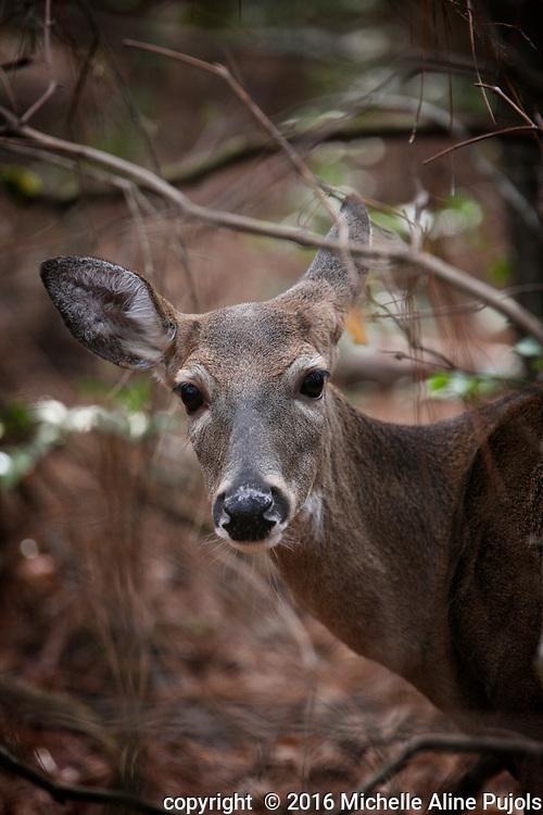 White tail deer in rehab.