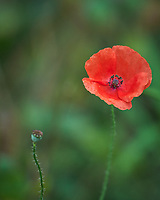 Red Icelandic Poppy. Image taken with a Leica SL2 camera and 90-280 mm lens.