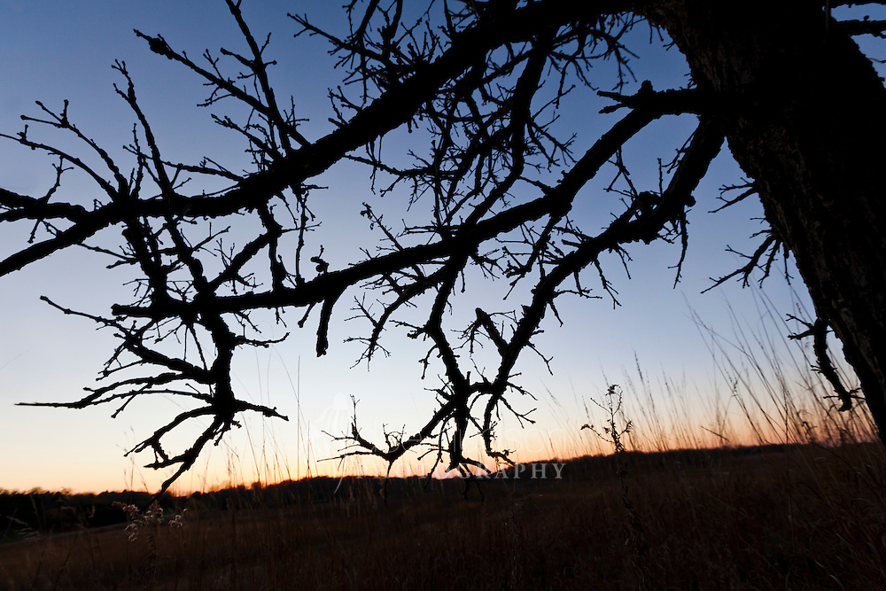 """Kathy J Parenteau wrote, """"Stand tall oh mighty oak, for all the world to see, your strength and undying beauty forever amazes me.""""  The winged ridges along the bur oak branches and the little """"Friar Tuck"""" acorns (acorns with a hairy fringe on the cap) are a couple unique characteristics I enjoy about this tree. At sunset this oak certainly created an impressive figure. Bur Oak (Quercus macrocarpa)"""