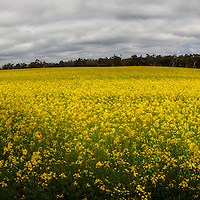 Panoramic shot of a Canola field in rural Western Australia