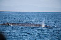 California Grey Whales calving and mating in Scanlans Lagoon near Guerro Negro in Baja California.