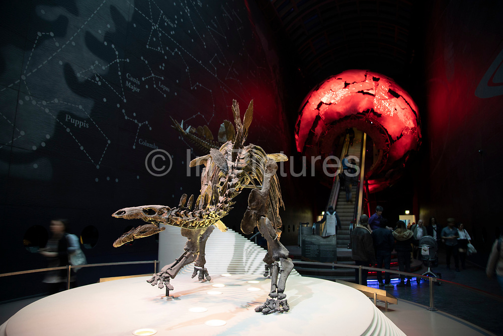 Stegosaurus skeleton on the Earth Hall in the Natural History Museum in London, England, United Kingdom. The museum exhibits a vast range of specimens from various segments of natural history. The museum is home to life and earth science specimens comprising some 80 million items within five main collections: botany, entomology, mineralogy, paleontology and zoology. The museum is a centre of research specialising in taxonomy, identification and conservation.