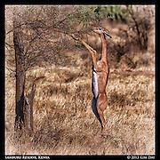 Feeding Gerenuk<br /> Samburu National Reserve, Kenya<br /> September 2012