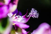 Podalyria calyptrata flowers, Fernkloof Nature Reserve, Hermanus, Western Cape, South Africa