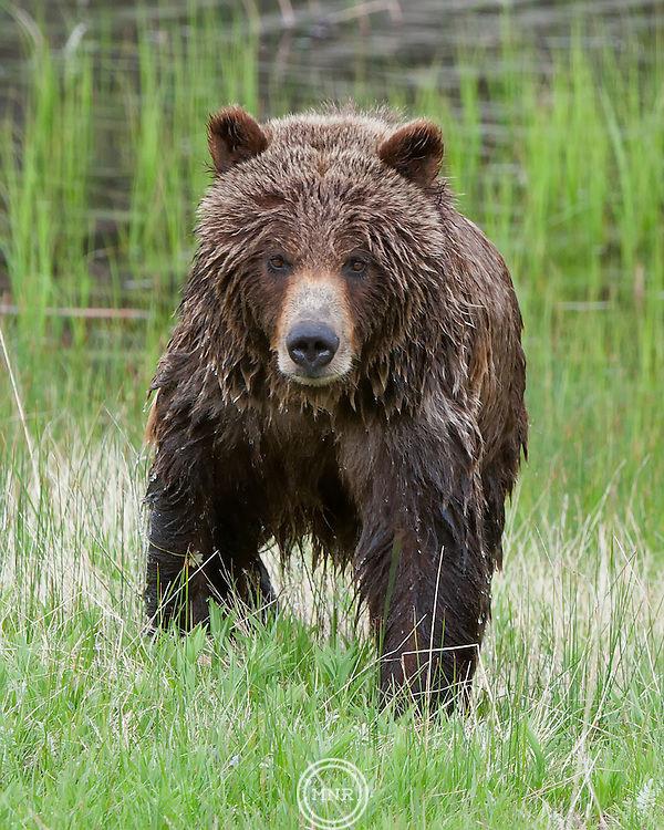 This Grizzly Bear was very Cooperative during a trip to Yellowstone National Park on my Birthday.