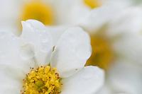Anemone narcissiflora; Narcissus-flowered anemone, Augstenberg, Liechtenstein