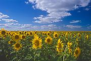 Sunflowers<br />Altona<br />Manitoba<br />Canada