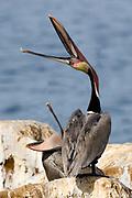 """Brown Pelican in full breeding colors """"throwing head"""".(Pelecanus occidentalis).La Jolla, California USA"""