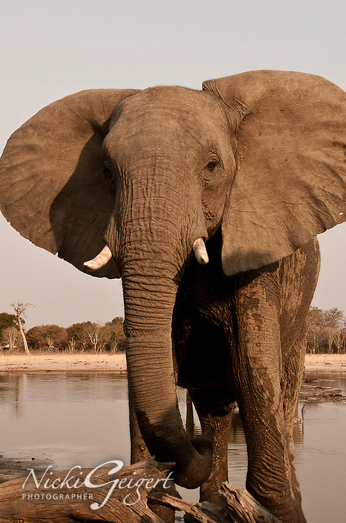 Portrait of an elephant at a watering hole in Zimbabwe, Africa. Wildlife and nature wall art. Fine art photography print.