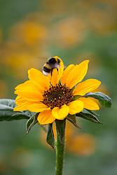 Bee landing on Helianthus annuus 'Sonja'. Sunflower