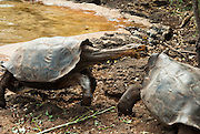 A Galápagos giant tortoise (Chelonoidis nigra, formerly Geochelone elephantopus) attacks another at the Charles Darwin Research Station (CDRS, operated by the Charles Darwin Foundation) in Puerto Ayora on Santa Cruz Island, Galápagos islands, Ecuador, South America. This species is the largest living tortoise and is native to seven islands of the Galápagos archipelago. Fully grown adults can weigh over 300 kilograms (661 lb) and measure 1.5 meters (5 feet) over the curve of the shell. They are long-lived with a life expectancy of up to 100-150 years in the wild. Populations fell dramatically because of hunting and the introduction of predators and grazers by humans since the 1600s. Only ten subspecies of the original twelve exist in the wild. Since Galápagos National Park and the Charles Darwin Foundation were established, hundreds of captive-bred juveniles have been released back onto their home islands.