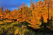 Sunset on trees along Chedabucto Bay (Atlantic Island)<br /> Fox Island<br /> Nova Scotia<br /> Canada