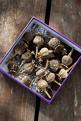 Seedheads of Papaver 'Dark Plum' collected in a box