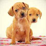 Dashchund puppies couldn't be cuter in this photo.